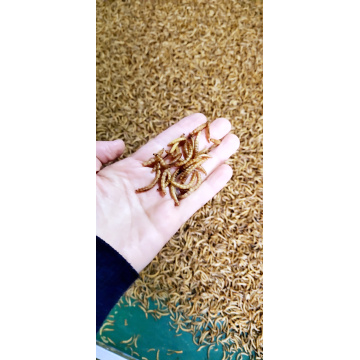 high protein feed from mealworm