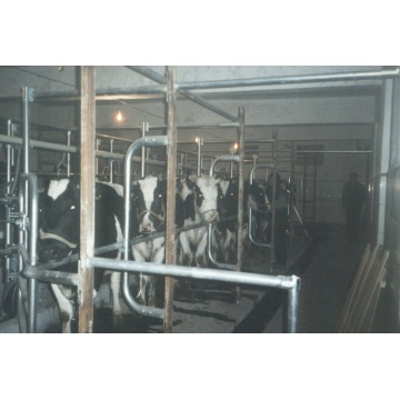 Fish bone milking parlor for cow